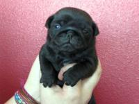 For adoption is a purebred, AKC registered, black, male