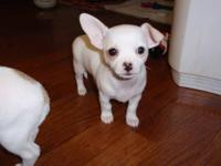 AKC purebred registered Chihuahua puppy is 8 weeks old