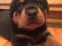 Several AKC registered Male and Female Rottweiler