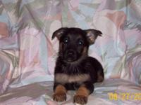 AKC Full blood German Shepherd female pup for sale,