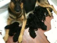 Pure-blooded German Shepherd Puppies, AKC papers with