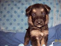 We have a fine looking litter of German Shepherd pups
