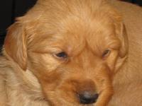 Beautiful AKC Purebred Golden Retriever Puppies raised