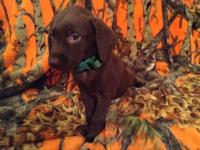We have choc and black labs available. Sire and Dam on