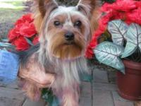 Selling AKC Male Yorkie. He's a very healthy, sweet and