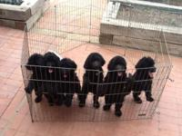 Purebred & Papered Standard Poodle Puppies from