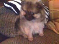 3 Purebred Pomeranian Puppies: Males, sable, teddy-bear