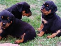 I have 4 big beautiful AKC Purebred Rottweiler puppies.