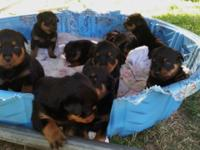 I have 10 beautiful AKC Purebred Rottweiler puppies. 7
