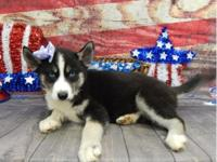 AKC Purebred Siberian Husky, born 5/1/2016. She is