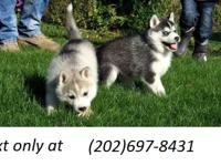 AKC Purebred Siberian Husky, She is microchipped and up