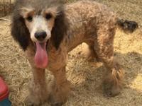 AKC purebred standard poodle Lion. Sable phantom, 18