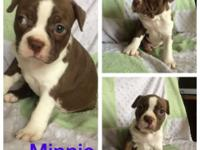 Pure Breed Boston Terrier Puppies -Born May 8th. 5 kids