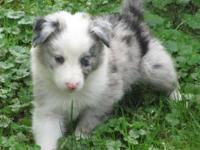 Ted is a beautiful stunning blue merle tri color (OFA