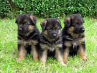 "We are ""Blackjack's German Shepherds"" Breeders of"