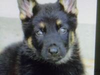 German Shepherd.PUPS 3 Males & 4 Females. Pups have
