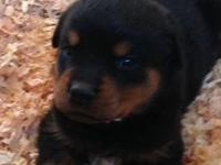 4 males Rottweiler puppies. AKC Quality German