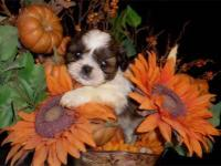 HIGH Quality AKC Shih-Tzu for QUALITY HOMES. Our