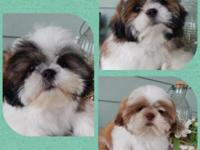 These AKC Shih Tzu Male Puppies are the sweetest