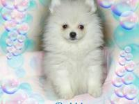 "AKC ""QUALITY"" WHITE SMALL AKC MALE POMERANIAN PUPPIES!."
