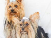 Hello I have two gorgeous Yorkie terriers there a