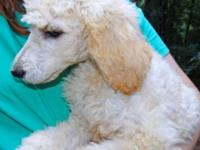 AKC Creme Standard Poodle at 11 weeks of age. The