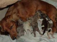 Lucy Has had a rainbow litter of 3 males and 2 females