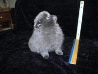 Rare, all blue, AKC, male, Pomeranian young puppy. His