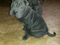 AKC Blue Chinese Shar Pei Puppies. Rare to discover in