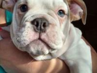 I have 1 male rare blue fawn AKC english bulldog for