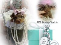 AKC Teacup Yorkies... Rare Dark Chocolate & Isabella