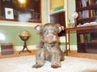 AKC Teacup Yorkies... Rare Chocolate & Color! DOB: