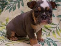 Rare Color English Bulldog Puppies 9 weeks old 1st