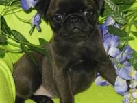 I have 2 excellent quality rare colored silver/grey pug