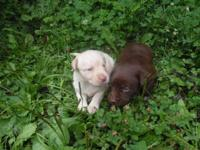 I have a liter of laboratory puppies born 7-4-14 and
