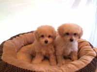 AKC Adorable Dark Red Toy Poodle Male Puppy. Rafael Rue