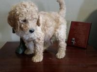 Gorgeous home raised poodles. We have one litter a year