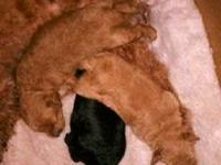 We have two beautiful baby boy Toy Poodles. One is red