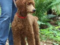 Beautiful Red and Black Standard Poodles born on