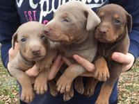 7 beautiful Red and Fawn Dobie pups looking for a new