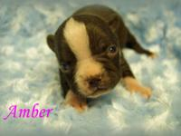 I have beautiful red and white Boston Terrier female