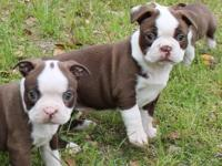 5 month old red and white AKC boston terrier young