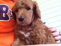 Gorgeous red and Apricot basic poodles offered. Just 2