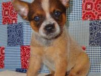 AKC Red Australian Cattle Dog Puppies. They come with a