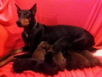 AKC Doberman puppies 3 red/tan and 1 black tan females,
