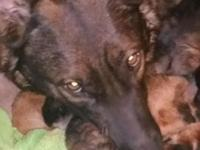 6 Black/Red AKC registered GSD Born 3/14/15 Ready for