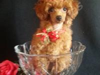 Adorable and full of kisses female red toy poodle