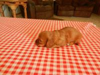 AKC REGISTERED RED LONGHAIR MINI DACHSHUND YOUNG PUPPY
