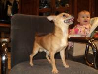 Valintino is a red AKC Chihuahua. He is a year old and