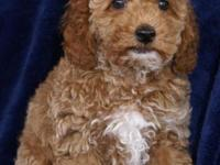 Adorable AKC Red Male Miniature Poodle Puppy.. Ready